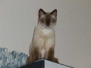 Siamese large cat