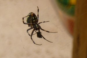 spider 4-6 spots on abdomen