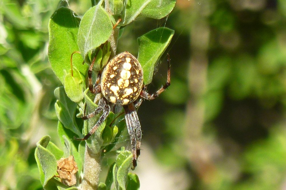 common orbweaver spider in the garden