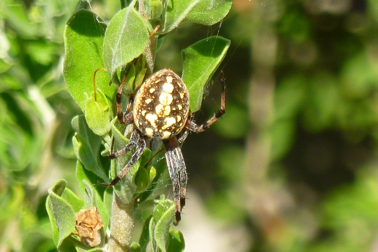 common orb weaver garden spider