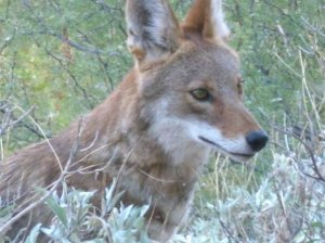 coyote animal face, eyes in Saguaro National Park