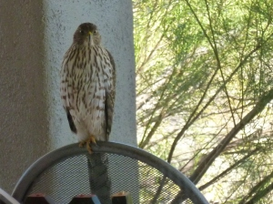 yellow feet of female coopers hawk