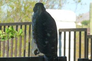 Birds of prey hawk