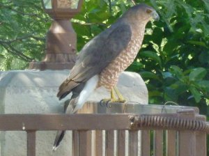 Coopers Hawk Adult