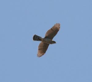 coopers hawk flying