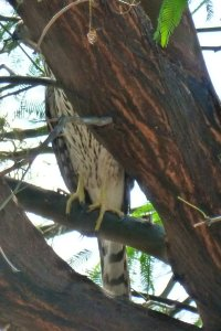 Coopers Hawk in our tree