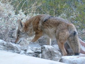 Tucson Arizona Desert Coyote animal