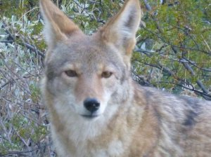 wild coyote animal in Phoenix Tucson Arizona