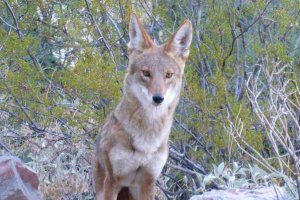 best desert coyote face photo
