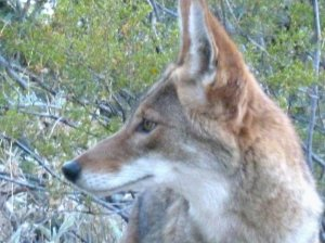 The face of a Coyote in Phoenix Tucson Arizona