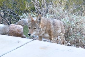 wild coyote animal in tucson, Arizona