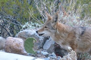 Coyote animals in the US and Mexico