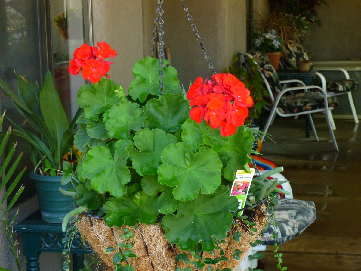 Red Geraniums made # 7 in my top Ten Heat Resistant plants for southern Arizona