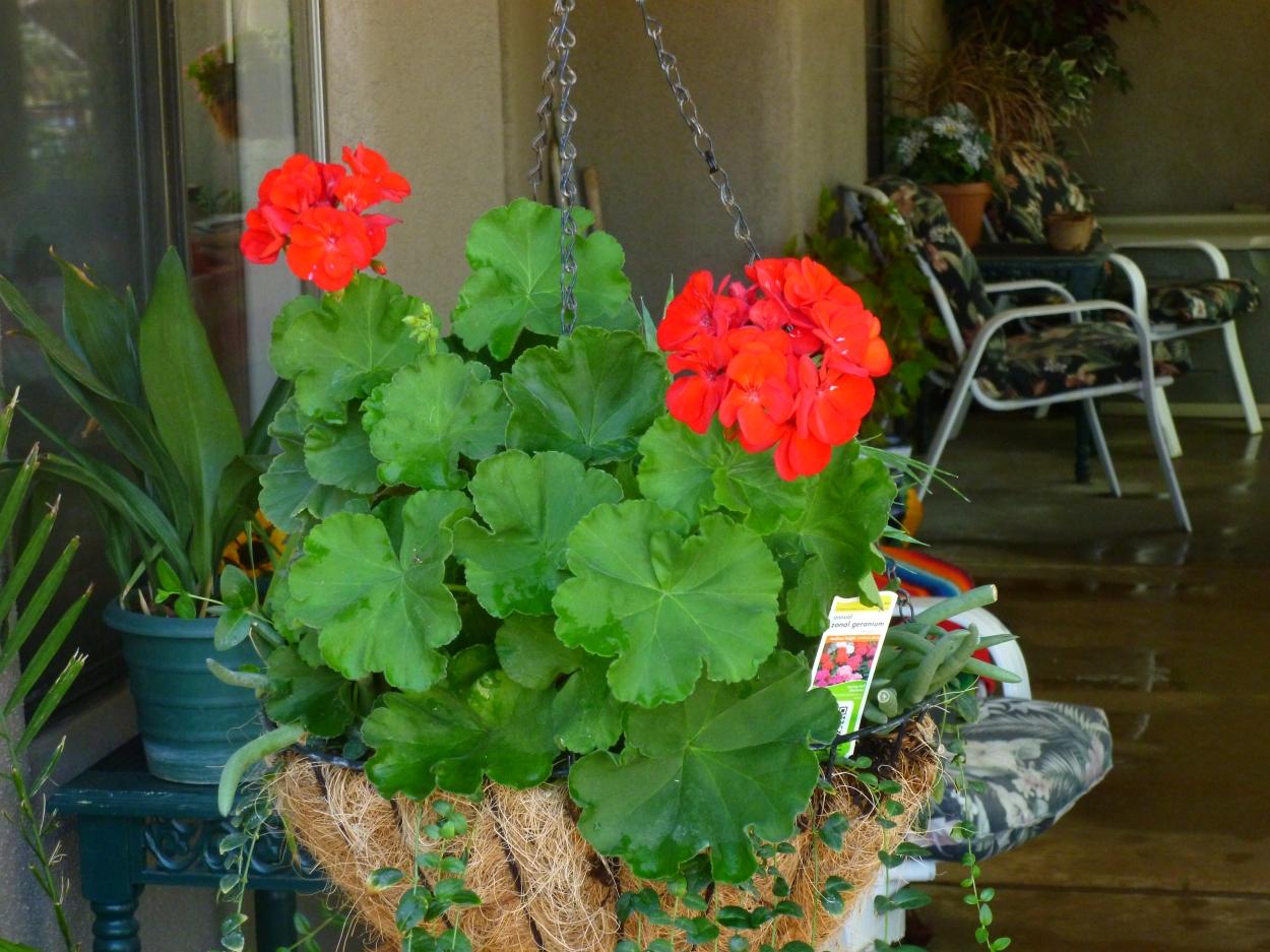 heat resistant geraniums