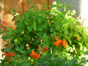 Honeysuckle and Salvia plants for hummingbirds