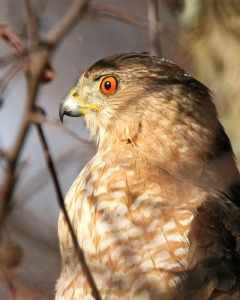 red eyes of coopers hawk