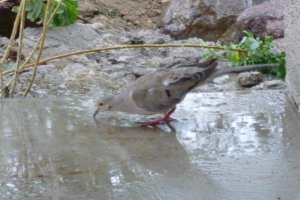 dove birds drinking water