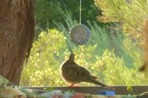 dove birds in Tucson Phoenix