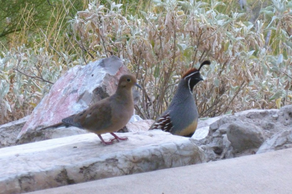 Mourning Dove with Gambel's Quail