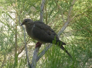 Tucson Phoenix birds Mourning Dove