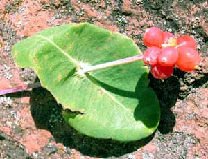 native arizona honeysuckle