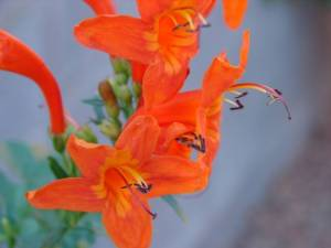 orange honeysuckle flower
