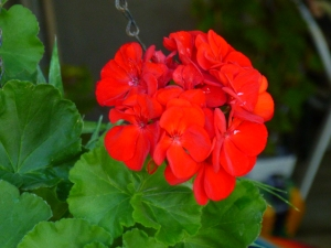 Red Geranium is a zonal geranium
