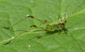 young katydid baby
