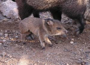 baby desert wild pig