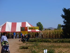 Corn Maze at At Apple Annies