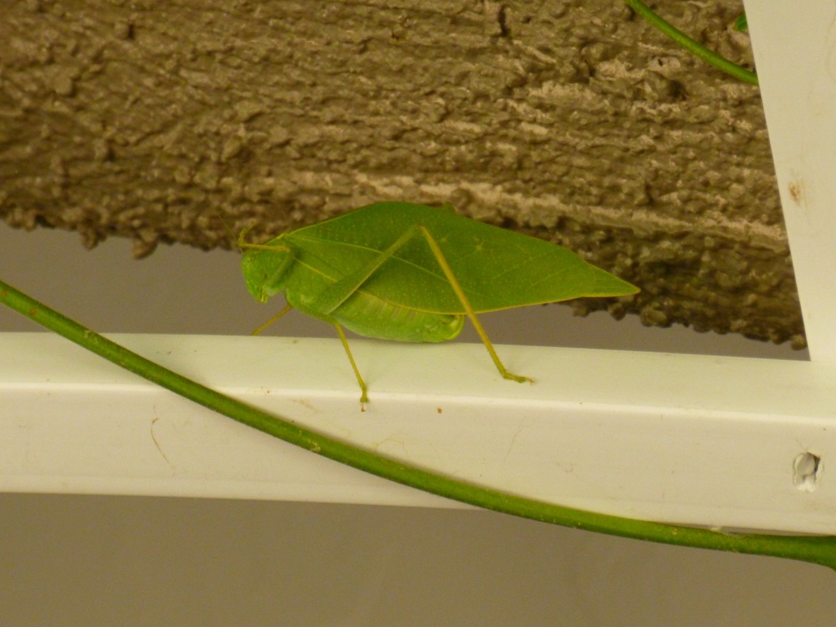 What insect looks like a green leaf? – true katydids – leaf bugs