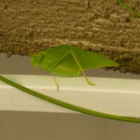 What insect looks like a green leaf? - true katydids - leaf bugs