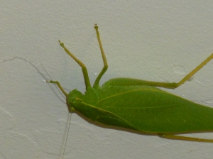 green leaf bug