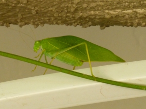 green and pink katydid insects