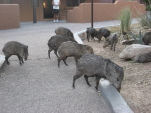 herd of javelina