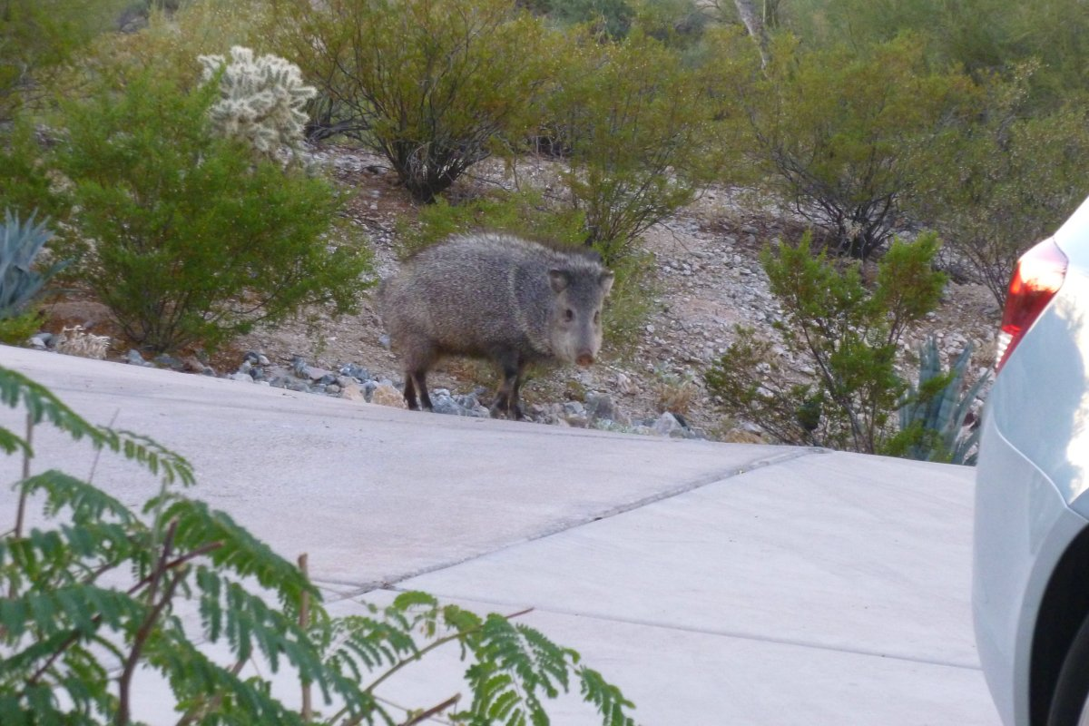 Arizona Javelina, collard peccary - are pig like desert dwellers