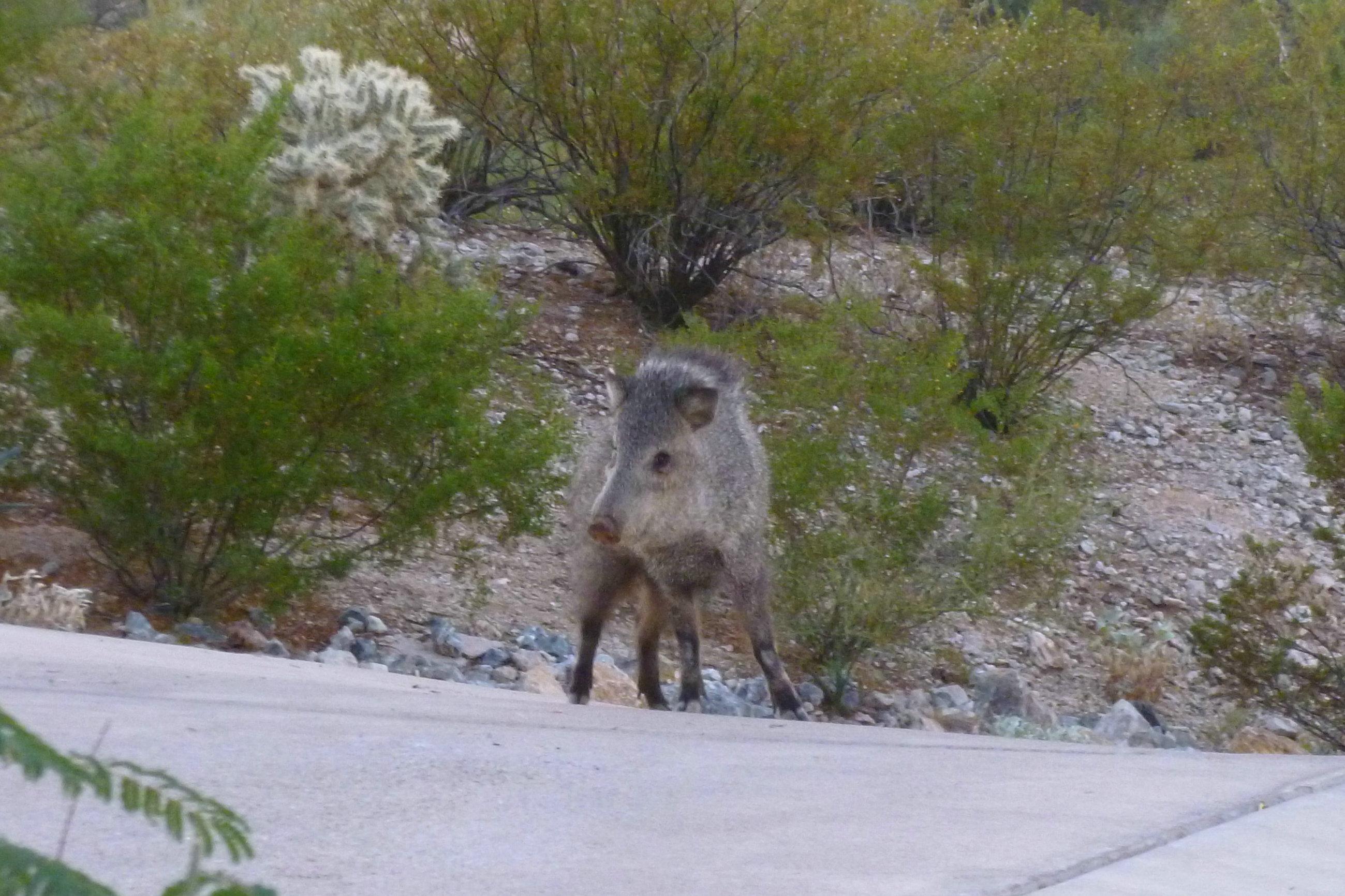 Arizona javelina collard peccary are pig like desert dwellers