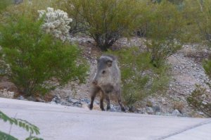 Javelina with raised hair