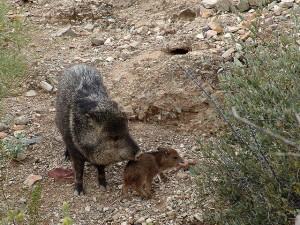 javelina with baby