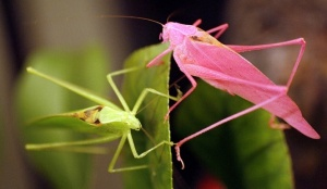 pink and green leaf bugs