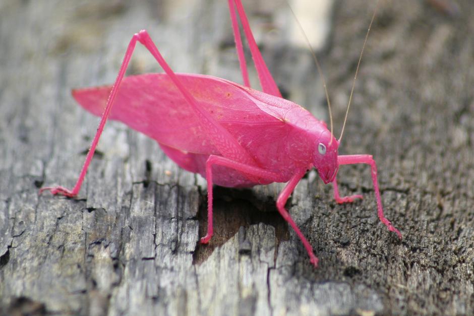 Αποτέλεσμα εικόνας για pink katydid