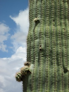 the saguaro arms