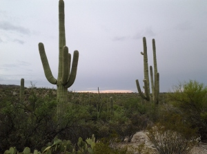 saguaro cacti over 100 years old