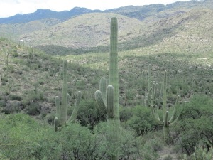 saguaro cactus at The Saguaro National Park