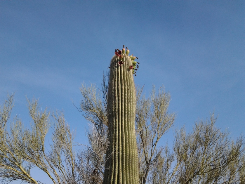 saguaro cactus with fruit