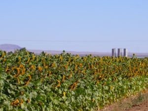Sunflowers at Annie's Farm in Arizona