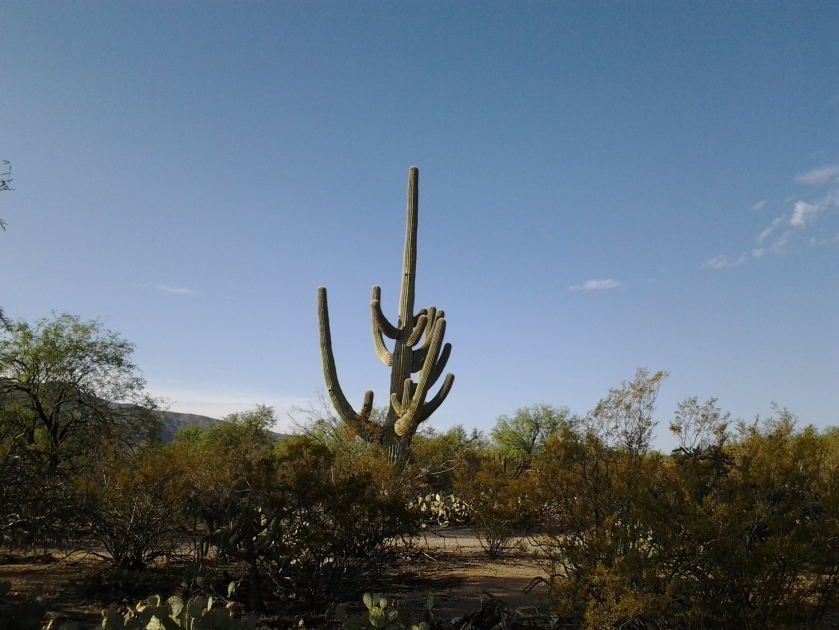 the saguaro cactus in arizona