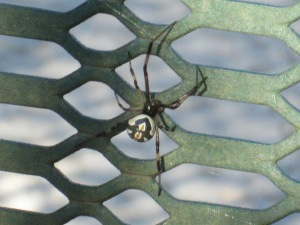 spider with white spots