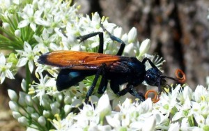 black bug with orange wings fights tarantulas