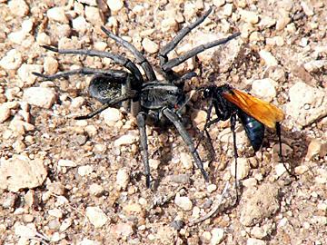 tarantula hawk wasp fights spider